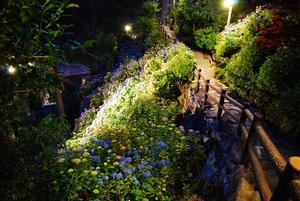 夜のあじさい園